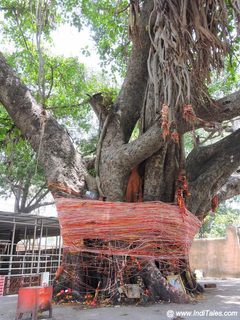 दक्ष महादेव मंदिर का प्राचीन वट वृक्ष