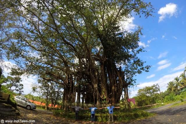प्राचीन बनयान पेड़ - दीवार द्वीप