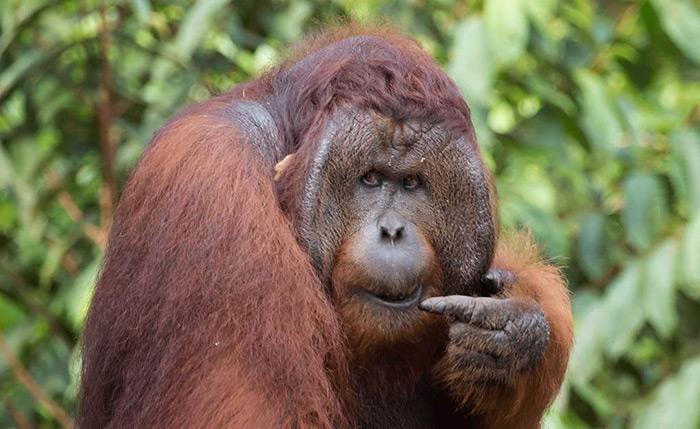 Borneo Orangutan Indonesia Tanjung Putting National Park