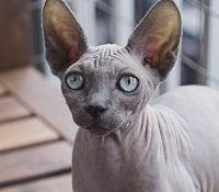 cat breeds for someone with allergies