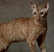cat breed for someone with allergies