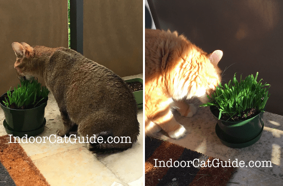 cat grass | indoor grass for cats