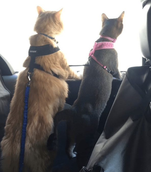 cat harness for car