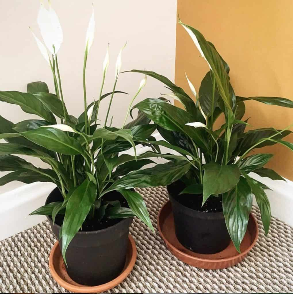 Peace Lily Ultimate Grow Care Guide Indoor Plants World