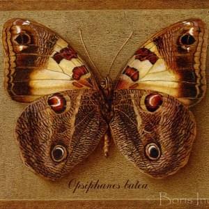 opsiphanes batea