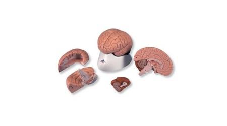 4 Part Brain
