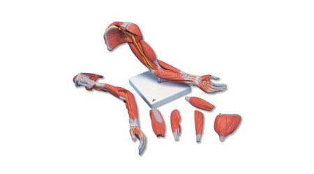 Deluxe Muscles of the Human Arm. 6 Part. Life Size