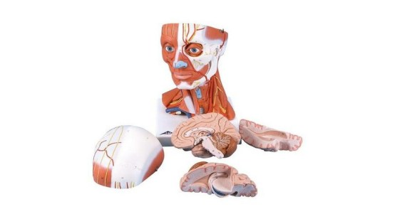 Head And Neck Musculature