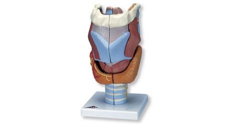 Larynx model. 2 x Full Size. 7 Part