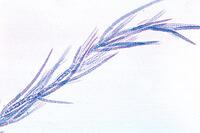 Prepared Microscope Slide. Chaetophora