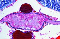 Lumbricus, frontal l.s. through ventral nerve cord