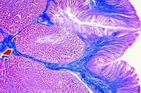 Gallus, glandular stomach t.s.
