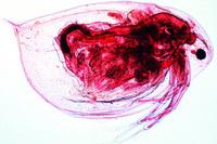 Prepared Microscope Slide. Daphnia