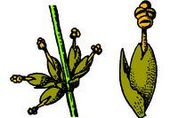 Ephedra, male flower t.s.