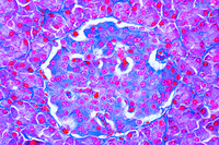 Pancreas with islets of Langerhans, human, sec.
