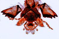 Vespa vulgaris, wasp, biting mouth parts of a carnivore, w.m.
