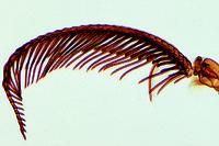 Bombyx mori, silk moth, feathered antenna w.m.