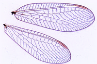 Chrysopa perla, wing of neuroptera w.m. *