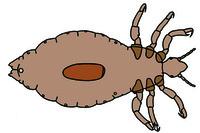 Pediculus humanus, louse, adult male or female w.m.