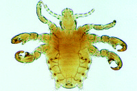 Phthirus pubis, human crab louse, adult w.m. *