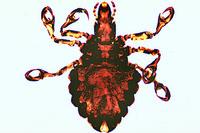 Haematopinus suis, pig louse, adult w.m. *