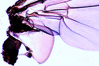 Musca domestica, house fly, wing and haltere w.m.