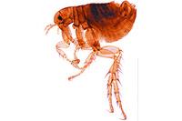 Pulex irritans, human flea, adult male w.m. *