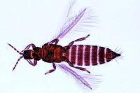 Thysanura sp., bristle tail, adult w.m.