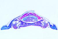 Chiton, a primitive mollusc, t.s. through the body