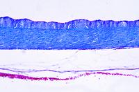 Cyprinus, air bladder t.s.