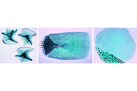 Fish scales composite slide, shows cycloid, ctenoid and placoid scales on one slide, w.m.