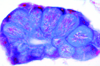 Plasmodium sp., section through the salivary gland of infected mosquito with sporozoites *