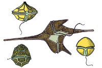 Ceratium, slide showing different marine forms w.m.