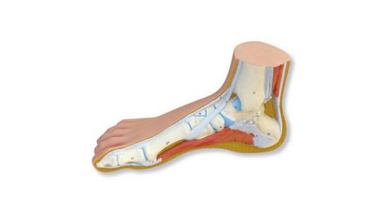 Normal foot