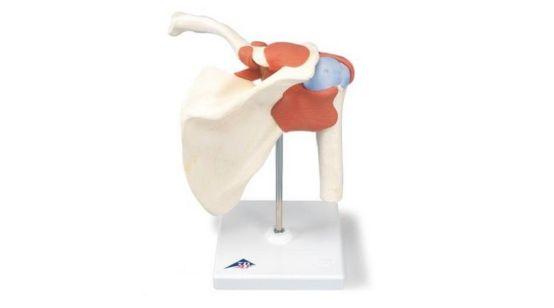 Deluxe Functional Shoulder Joint Model