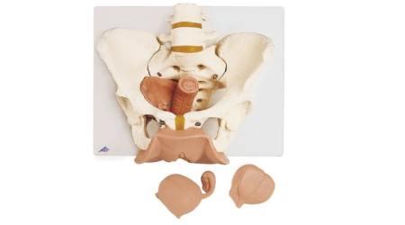 Female Pelvis Skeleton with Genital Organs, 3 part