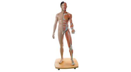 Life-Size Dual Sex Human Figure, 39-part