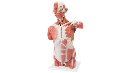 Life Size Muscle Torso Model, 27 part
