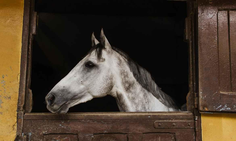white horse inside stable