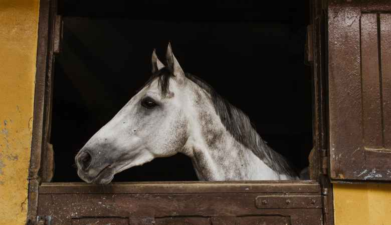 white horse inside stable