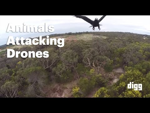 Animals Attacking Drones