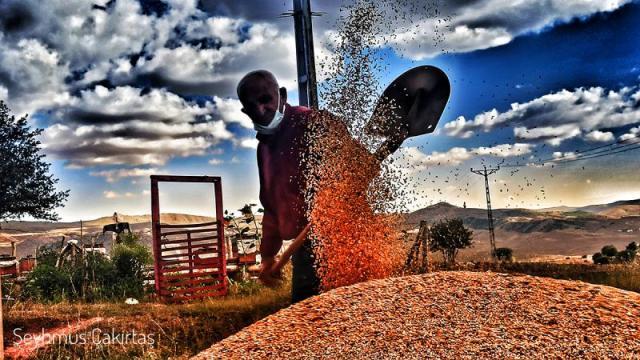 buğday tarla arpa indyTR (2).jpeg