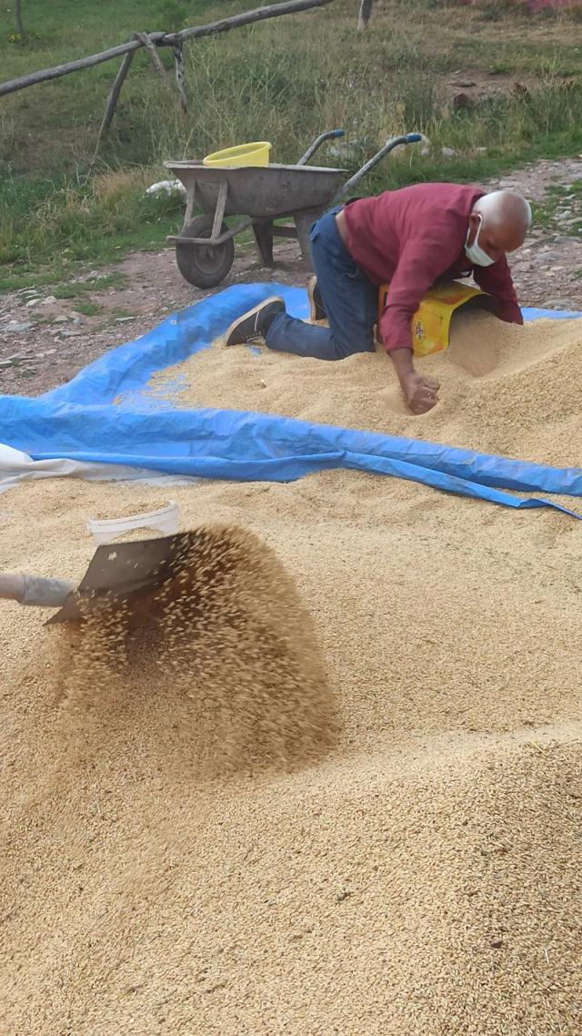 buğday tarla arpa indyTR (3).jpg