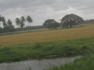 A field with ripe rice ready for harvesting on the Essequibo Coast.