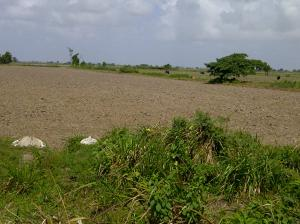 Dry rice field, thirsty for water