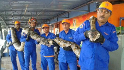 The snake was captured by civil defence officials