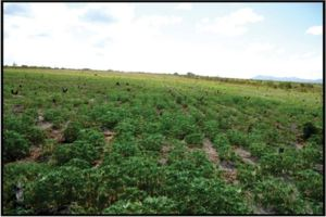 Cassava cultivation in the Rupununi
