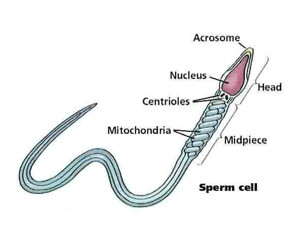 https://i2.wp.com/www.infertilitybooks.com/onlinebooks/malpani/images/04b_sperm_cell.jpg