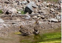 Patos barcinos a la vista durante monitoreos de biodiversidad