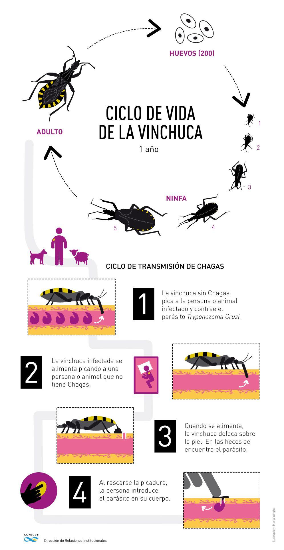 El ciclo del mal de Chagas (Conicet)